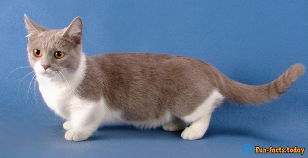 Short Legged Hairless Cats Cute Cat 2018