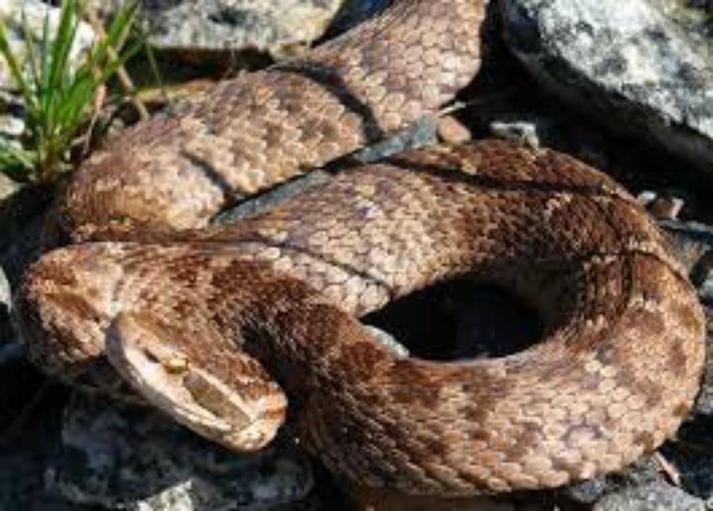 Seven Most Dangerous Poisonous Snakes Of The Planet