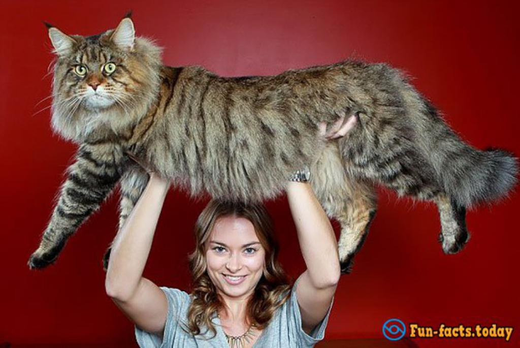rupert the worlds largest cat