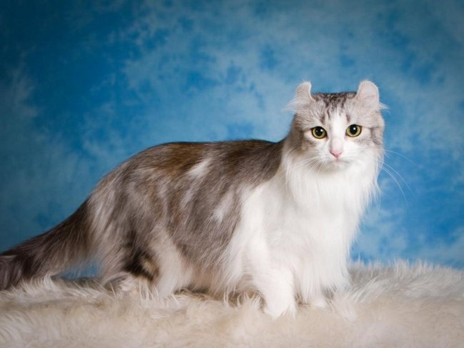 Top 10 Rarest Cat Breeds