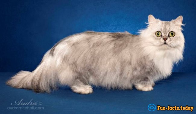 The Smallest Cat Breeds. Top 10
