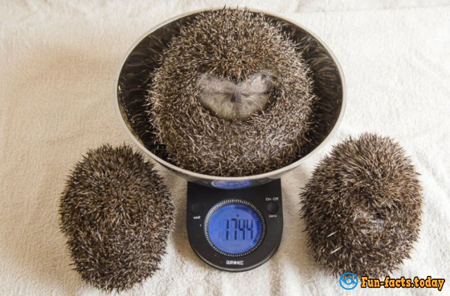 Fatso Hedgehog Was Placed In The Clinic For Weight Loss