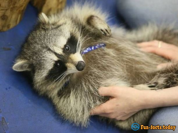 The Cutest Pictures Of Raccoons  From Festival in St. Petersburg