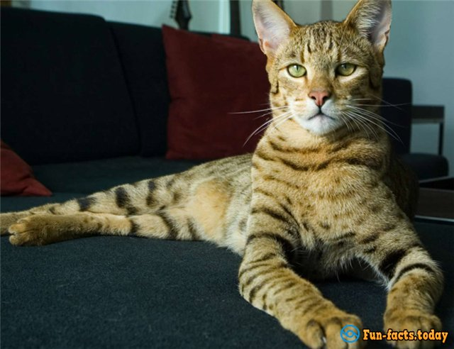 Three Most Desirable Breeds Of Cats