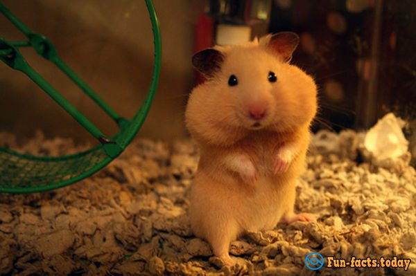 The Most Amazing Facts About Hamsters