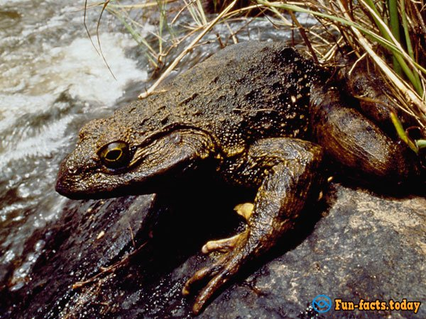 Amazing Facts About The Goliath Frogs