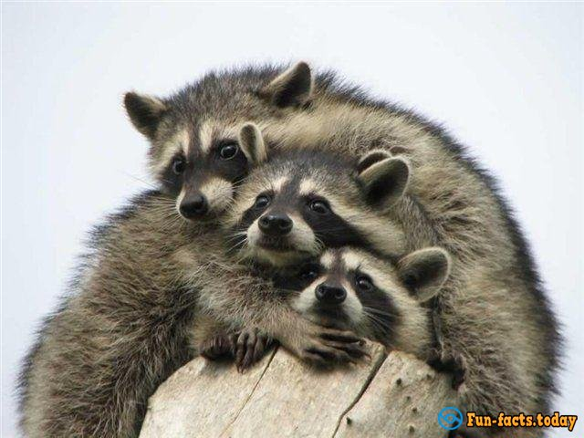 Little family of Raccoons has shown a good example of Teamwork
