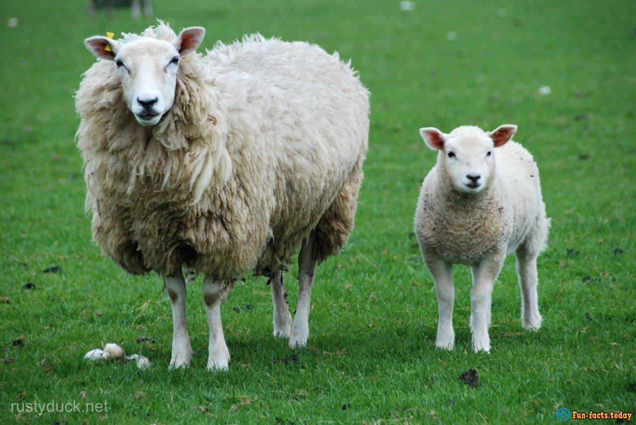 scotland gay sheep