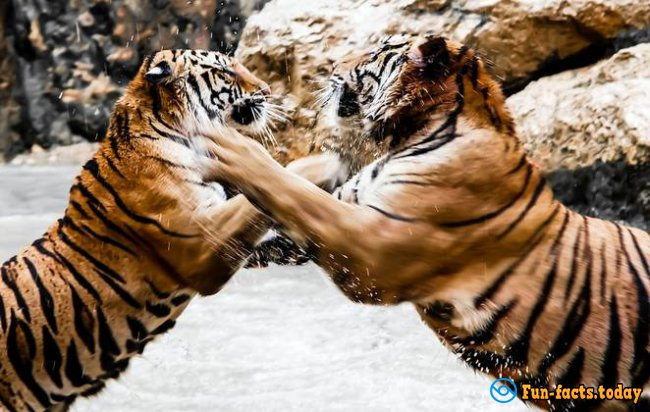 The Craziest Facts About Tigers