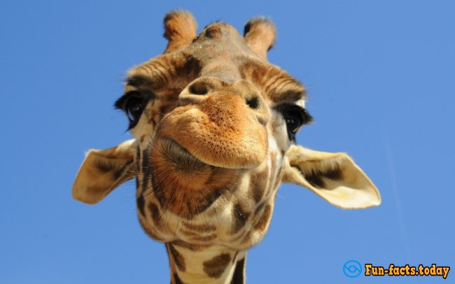 The Craziest Facts About Giraffes