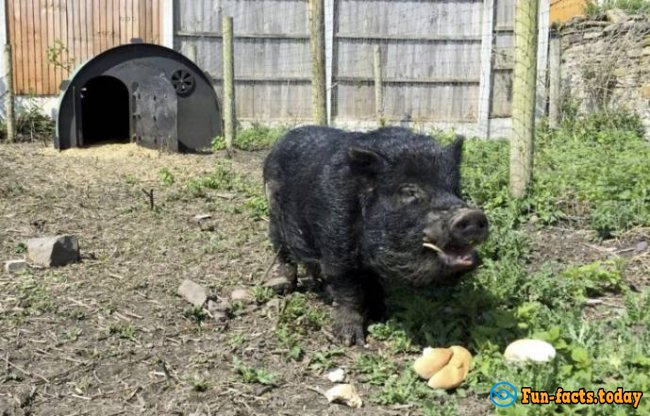 """British Pig Marcus Can """"Predict"""" The Results Of Sporting Events"""