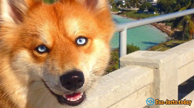 The New Star Of Instagram: Dog Which Looks Like a Blue-Eyed Fox