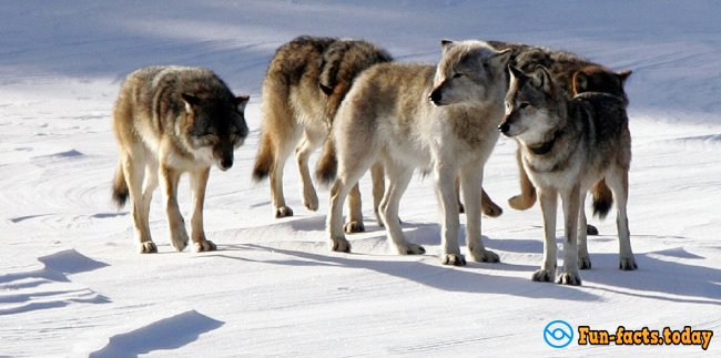Awesome Facts About Wolves