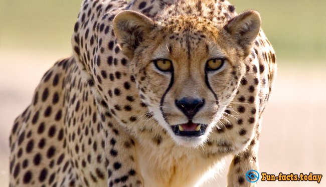 Awesome Facts About Cheetahs