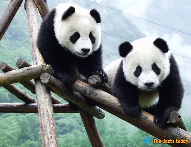 Fun Facts About Giant Pandas