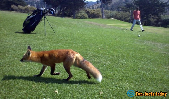 Tricky Fox Cleverly has Stolen the Ball  for Golf Court