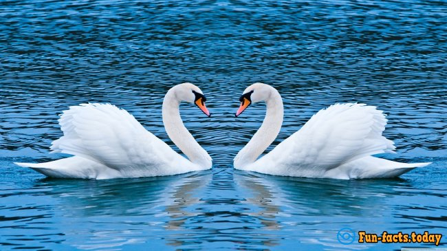 Crazy Facts About Swans