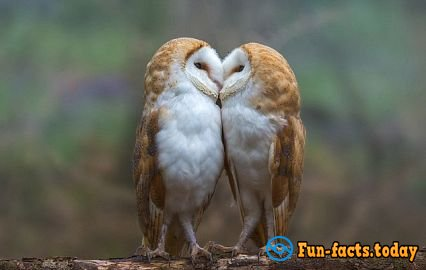 English Photographer Made a Touching Picture of Kissing Owls