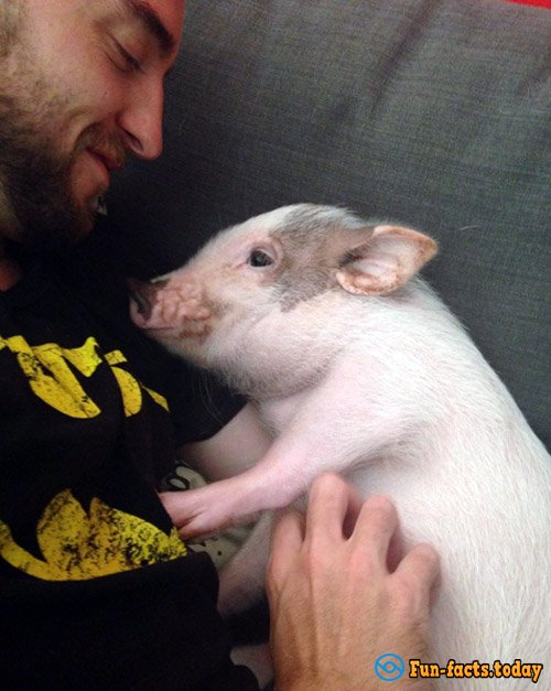 Mini-Pig, Who Considers Himself a Dog, Has Won the Hearts of the Internet Users