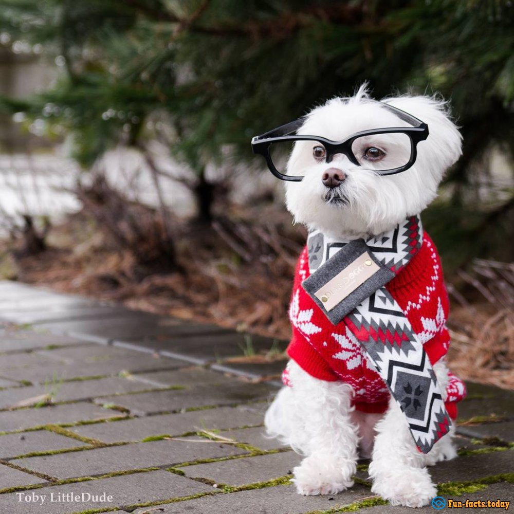 10-Year-Old Bichon Toby - The First Dog-Hipster