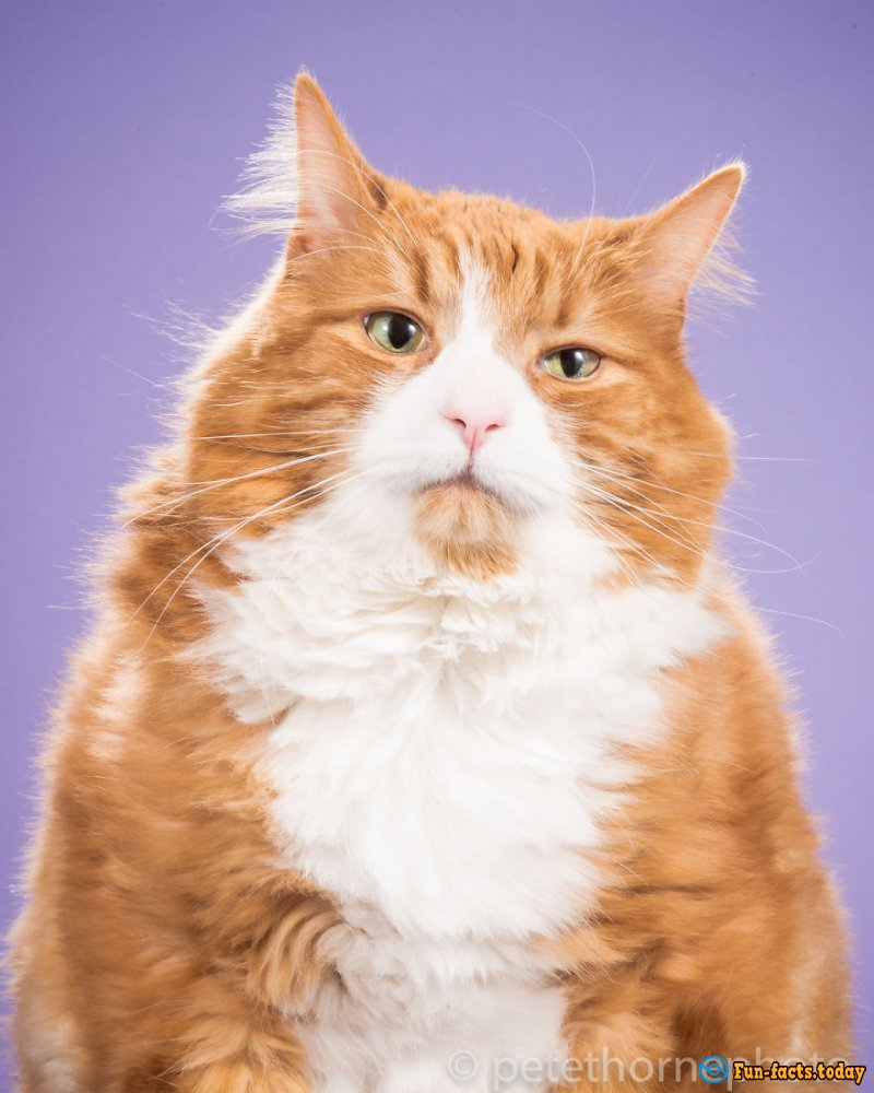 Funny Fat Cats: The Photographer Shoots Cats That Are Not Going To Lose Weight