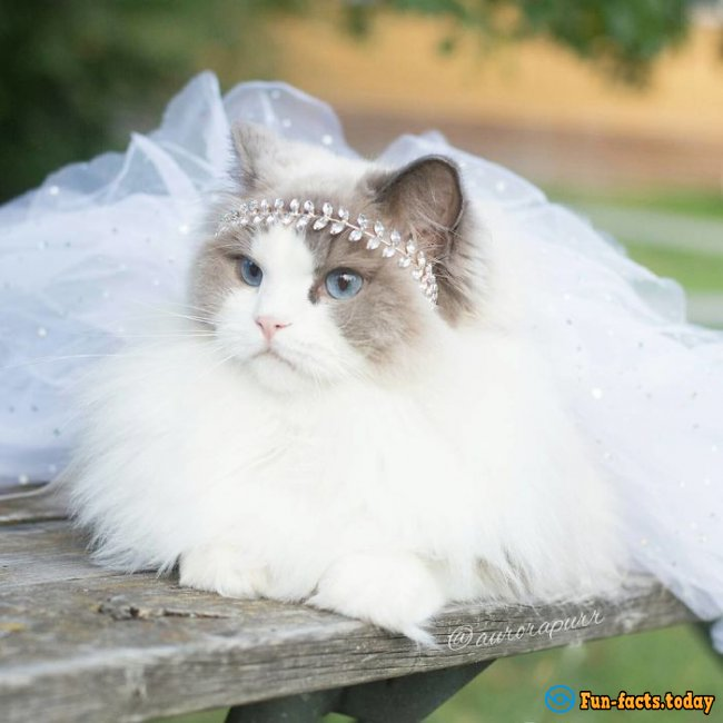 Real Princess! An Adorable Cat in a Dress and Crown Conquered the Internet