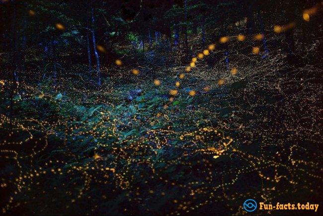 Light Show in the Forest: Fabulous Photos of Fireflies in Japan Hit the Internet