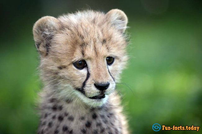 Touching Friendship of Puppy and Cheetah: How Dog Helped Predator to Recover