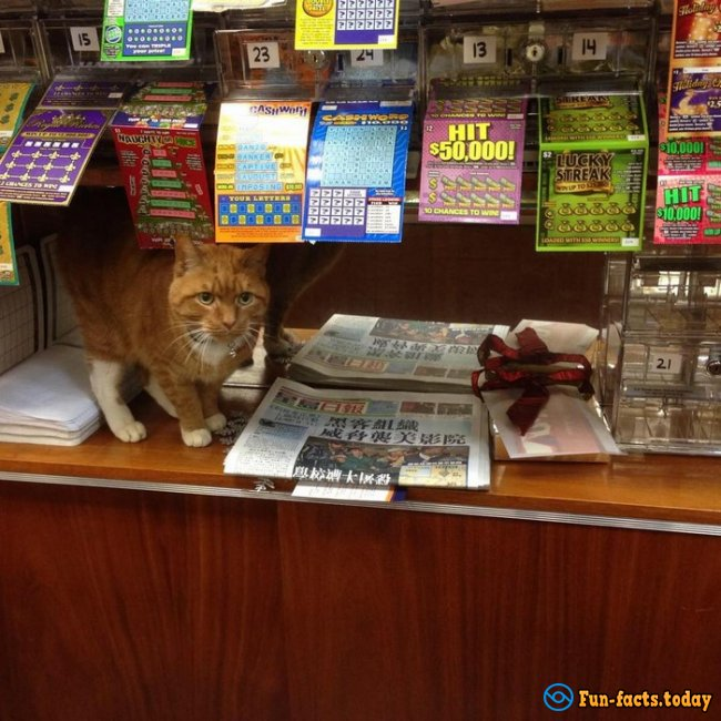 Unusual worker: Cat works in a New York shop For over 9 years