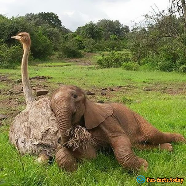 Awesome Friendship:  Ostrich Pretends That He Is An Elephant To Take Care Of Baby Elephants