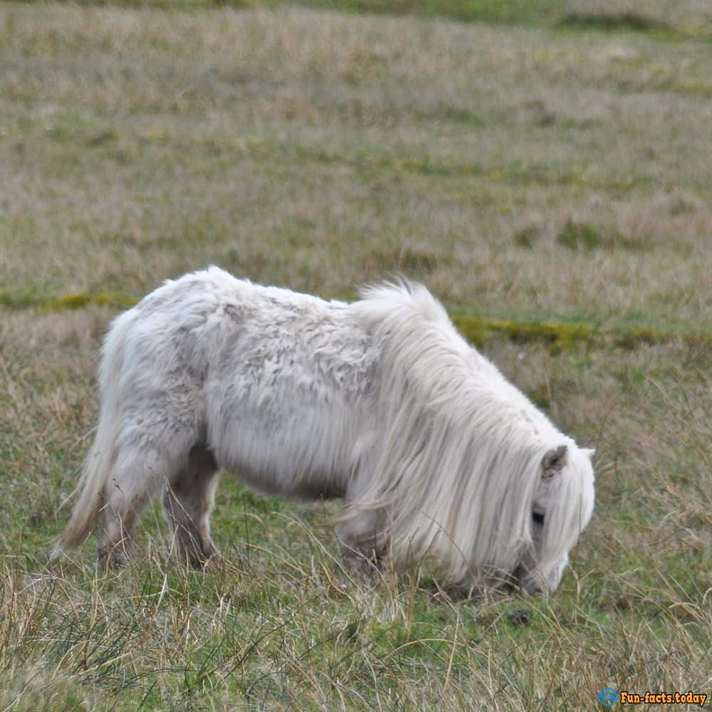 Island of Fairy-Tale Ponies Was Found in Great Britain