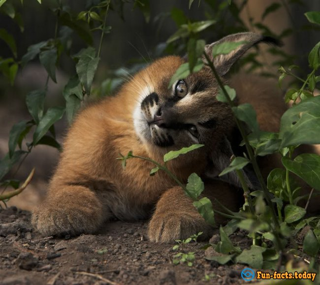 Incredibly Cute Animals: Caracals Conquer The Network