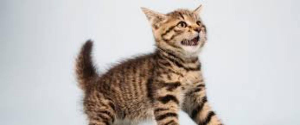 Fun Facts about Cat